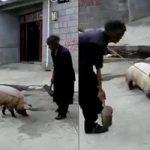 今日の晩御飯の豚肉は小1時間前まで生きていたブタさん