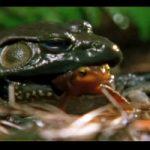 衝撃映像|カエルに食べられても自らの毒で生還するサメハダイモリっていうイモリ・・・