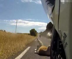 オーストラリアの路上には野生のコアラが出現するとか初見殺し過ぎる