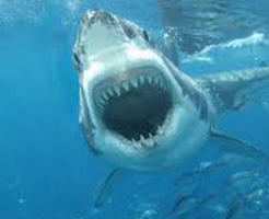 うきうきで海に飛び込んだ男 人食いザメに出会って顔が青ざめパニックに