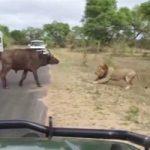 敗北=死!百獣の王ライオンに挑む勇敢な水牛の最後…