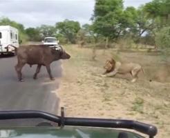 敗北=死!百獣の王ライオンに挑む勇敢な水牛の最後・・・