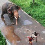もう怒ったゾウ!鼻を使って人間をブン投げる象さんの暴走特急っぷりw