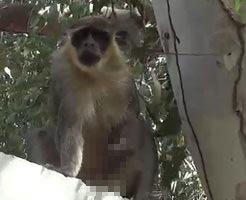 オナニーして射精したザーメンを飲むお猿さんwwwwwwwwwwww