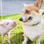 おもしろ動画|異種姦交尾!発情期の犬が子豚さんをレイプ!
