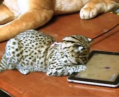 おもしろ動画|ねこ向けのアプリを猫科の動物たちにやらせてみた結果ww