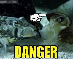 衝撃|早く起きて!!起きた時にはもう手遅れ、生きたままイモガイに丸呑みされたお魚ちゃん…