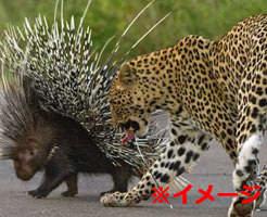 悲報|「うほっ獲物が2匹も!」ヒョウ VS トゲトゲのヤマアラシ そりゃこうなるわw