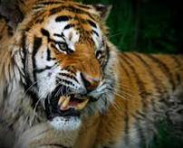 グロ画像&動画|ライオンと虎の檻の目の前で遊んでた子供、腕を食いちぎられる