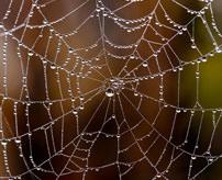 【おもしろ】小さいけど糸の飛距離は約25メートル!蜘蛛(クモ)が川を渡って巣を作る様子=ダーウィンズ・バーク・スパイダー