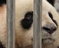 【衝撃】日本の観光客からも高評価な成都パンダ繁殖研究基地、飼育員の扱いが虐待レベルだった件=中国