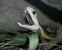 【グロ】超危険!世界最悪のヘビに噛まれたらこうなる...生きていればラッキー