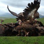 【鳥葬】人間の死体をハゲワシに食べさせ「天葬」 その前に食べやすくする作業現場