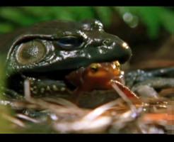 【衝撃映像】カエルに食べられても大丈夫!自らの毒で生還するサメハダイモリ強過ぎぃ!!