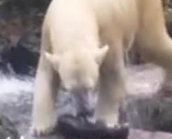 【グロ動画】猫ちゃんと遊ぶ北極グマさん、一方的に遊びすぎてハラワタが…