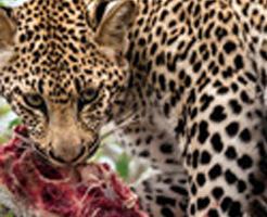ヒョウが人間の味を覚えてしまったら→村人8人が次々と狩られて・・・
