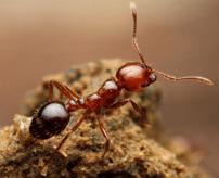 年間100人殺す毒アリ「ヒアリ」の群れに毒蜘蛛「クロゴケグモ」を放り込んでみた
