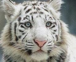 【閲覧注意】貴重なホワイトタイガーが中学生を噛み殺す・・・インド