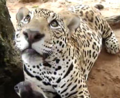 【おもしろ動画】何故かジャガーさんに愛されてしまったわんこ超ビビるwwww