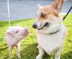 【おもしろ動画】異種姦交尾!発情期の犬が子豚さんをレイプ!