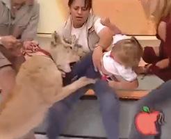 【放送事故】生番組でほぼ放し飼いのライオンと幼女・・・嫌な予感しかしないwww