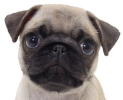 【おもしろ動画】わんこだってオナニーするもん!チ●ポを前足でイジるサウスポー犬!