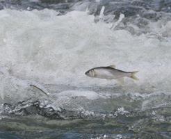 【衝撃映像】かつてここまで荒ぶる魚を見たことがあっただろうか?いやない(反語)