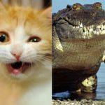 【アニマルビデオ】一触即発!猫vsワニのガチバトル!意外な結末が…