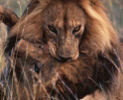【閲覧注意】ライオンが若い女性を襲う決定的瞬間を観覧客が撮影していた…