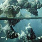 【閲覧注意】ピラニアの水槽に生きたネズミを放り込んでみると…