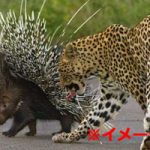 【悲報】「うほっ獲物が2匹も!」ヒョウ VS トゲトゲのヤマアラシ そりゃこうなるわw