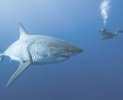 【グロ画像】あのサメの腹でかいな…切り裂いてみると中から人体出てきたんだが…