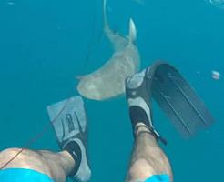 【恐怖】2メートル以上のサメに噛まれて足の肉を噛みちぎられる生きた心地がしない衝撃映像