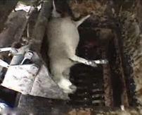 レンダリングプラント ← 家畜処理の最終地点、使えない肉はシュレッダー処分!人間の都合で破棄された動物たち