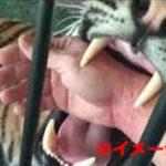 【事故】危機管理ゼロ!?虎にエサをやり手を食いちぎられた老人...=中国