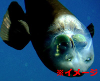 【衝撃】謎が多い未知の魚!漁師が捕獲したグロく不思議な深海生物=ロシア