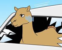 車と正面衝突したラクダさん、うっかり乗車…
