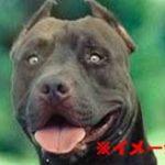 世界最強の闘犬ピットブル、非力な8歳の女の子に襲い掛かってしまう…