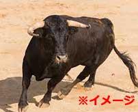 【閲覧注意】闘牛士の男性、暴れ牛に股間を踏まれてキンタマが破裂してしまう…