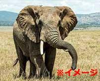 野生のゾウにボロ雑巾のように扱われて殺されてしまう衝撃映像…