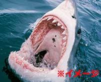 人喰いザメの恐ろしさが一目でわかってしまうグロ動画…