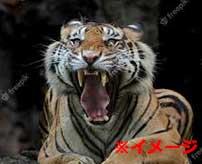 野生のトラに襲われてしまった人間、肩が無くなってしまう…